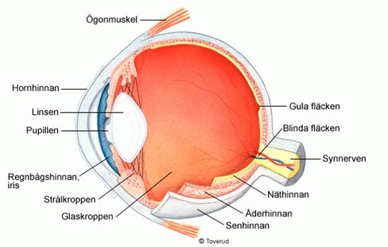 bild på ögat